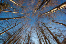looking up to the tops of trees and blue sky