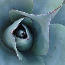 succulent plant macro