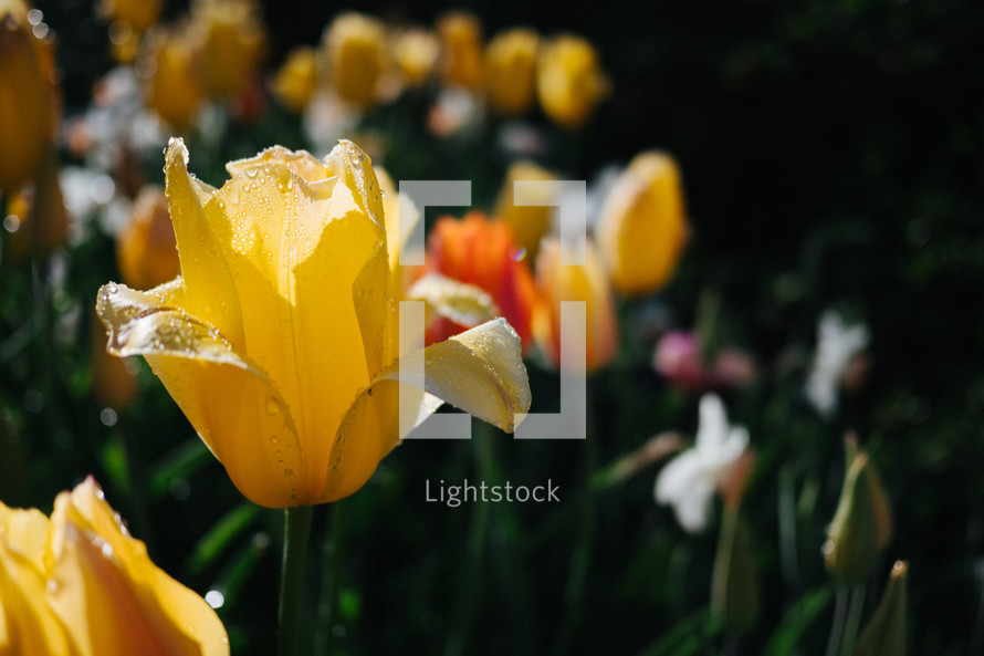 yellow spring tulips