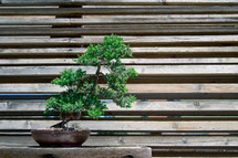 a bonsai tree on a wood bench