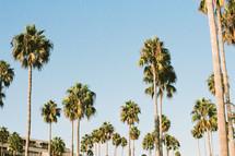 tall palm trees