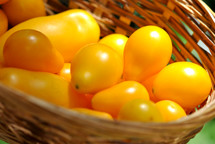 Bountiful harvest of yellow pear tomatoes from the garden.