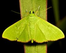 Green moth on a blade of grass.