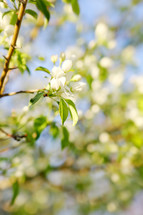 signs of spring - beautiful white blossom in tree