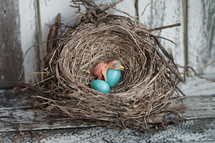 baby robin in a nest