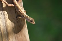 brown anole lizard on a log