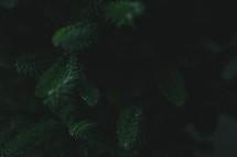 fraiser fir