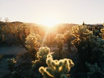 desert cactus and vegetation
