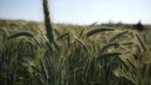 field of wheat blowing in the breeze