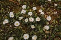 white daisies on the ground