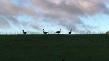 geese on a hill at sunset
