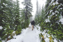 hiking an evergreen forest around Peyto lake in winter