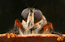 Close-up of the eyes of a robber fly