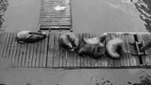 sea lions sleeping on a wood dock