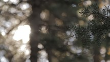 pine branch and trees in a forest