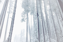 misty, frosty, foggy, snowy woods
