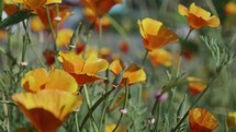 Slow motion California Poppies blowing gently in the breeze