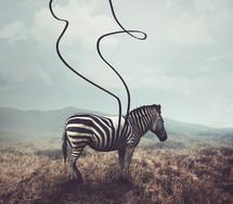 putting stripes on a zebra
