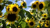 sunflowers blowing in a breeze