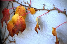 red and yellow ivy leaves