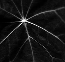 veins in a flower petal