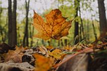 gold fall leaf