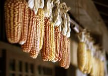 dried fall indian corn hanging
