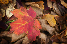 red leaf on a pile of dead leaves