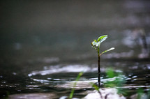 sprouting from a puddle