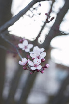 pink cherry blossoms on a branch
