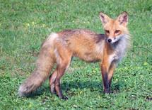 An up-close wildlife portrait of a red fox posing sideways in a green grassy meadow.