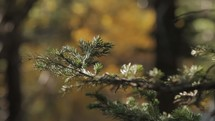 pine branch shaking in a breezes