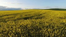 over a canola field