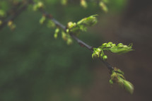 budding tree branch