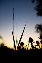 A silhouette of grasses against a sunset.