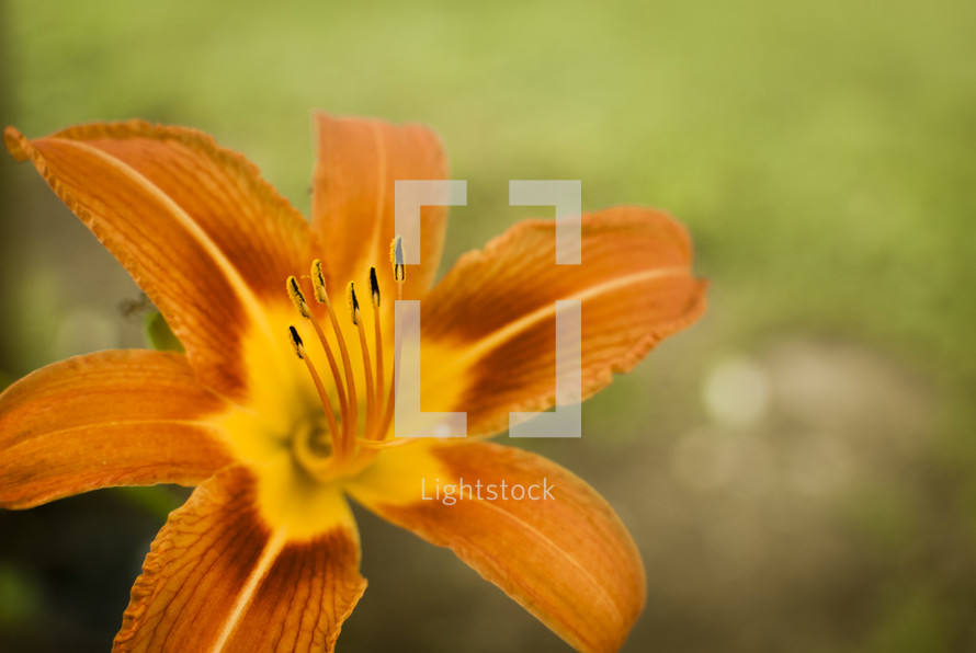 Bright orange day lily closeup