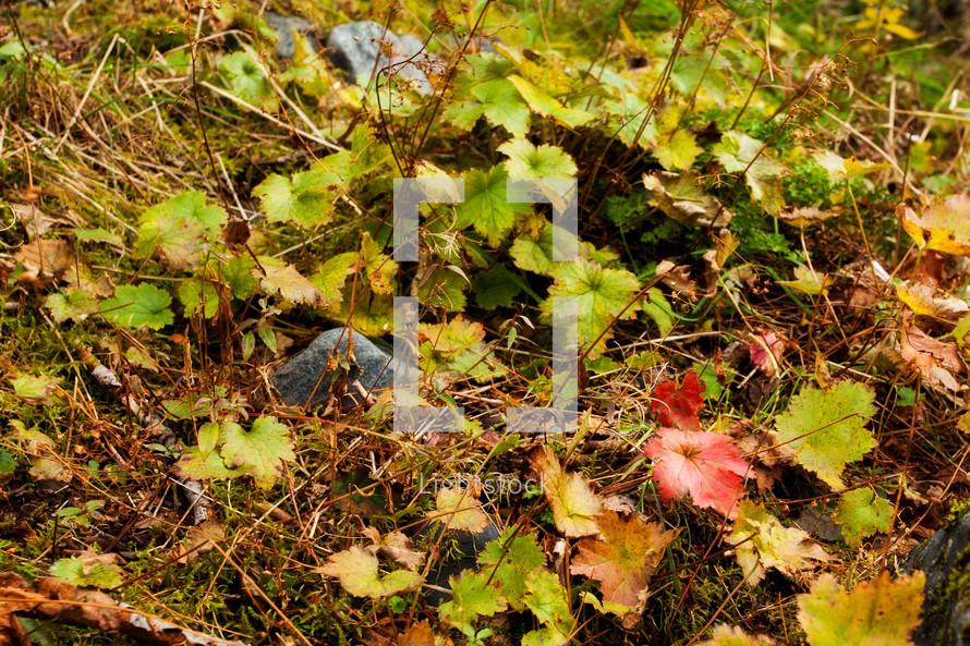 ivy on the ground