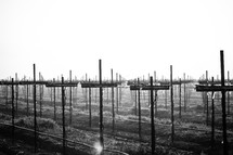 Sunrise on a foggy morning in a vineyard. The grape stakes form rows of crosses. Black and white.