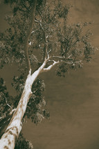 tree in the Australian outback