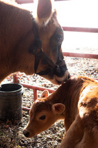 mother and baby cow