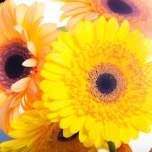 Gerber daisies.