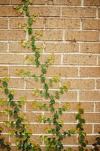 ivy growing up the side of a brick wall