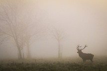 elk in a foggy field