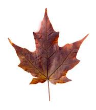 brown maple leaf