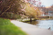 pink spring trees by a pond