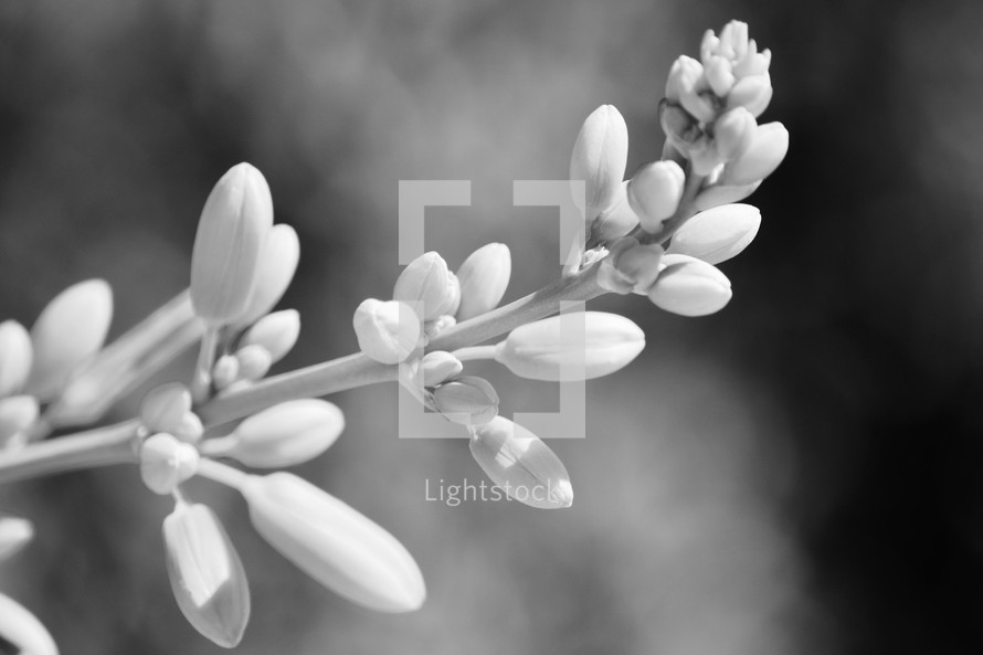 black and white image of flowers of the red yucca