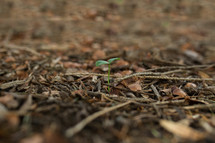 sprout in mulch
