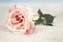 pink rose in snow