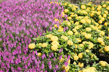 purple and yellow flowers in a flower bed