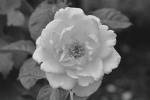 rose on a bush in black and white